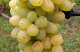 Виноград Киш-миш. Калорийность, польза и вред
