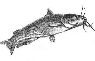 Рыба Сом. Калорийность, польза и вред