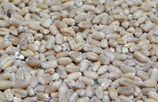 Цельные зерна пшеницы. Калорийность, польза и вред.