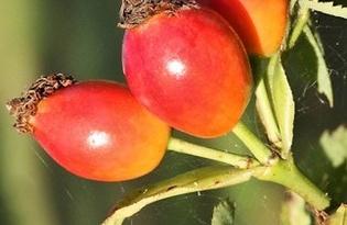 Шиповник (плоды). Калорийность, польза и вред.