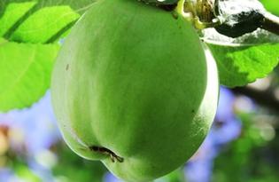 Яблоко зеленое. Калорийность, польза и вред.