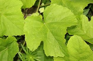 Виноградные листья. Калорийность, польза и вред.