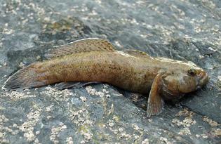 Рыба бычок. Калорийность, польза и вред.