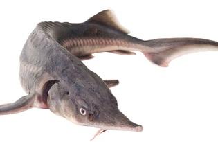 Рыба осетр. Калорийность, польза и вред.