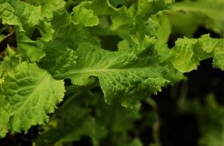 Листья салата. Калорийность, польза и вред.