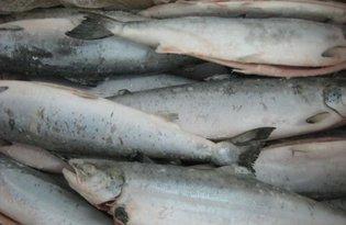 Рыба кижуч. Калорийность, польза и вред.