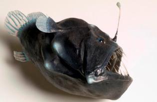 Рыба удильщик (морской черт). Калорийность, польза и вред.