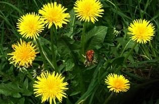 Одуванчик (цветы). Калорийность, польза и вред.