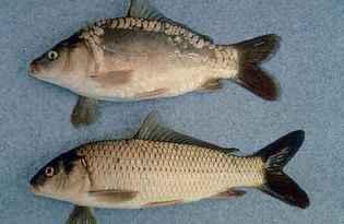 Сазан (рыба). Калорийность, польза и вред.