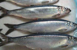 Рыба салака. Калорийность, польза и вред.