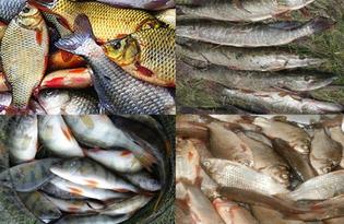 Рыба речная. Калорийность, польза и вред.