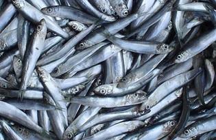 Рыба килька. Калорийность, польза и вред.