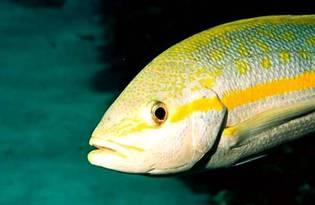 Рыба желтохвост (лакедра). Калориность, польза и вред.